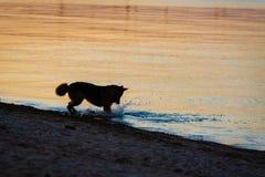 Crabot fonctionnant dans l'eau photographie stock