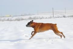 Crabot fonctionnant dans la neige Image libre de droits