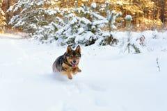 Crabot fonctionnant dans la neige Photographie stock