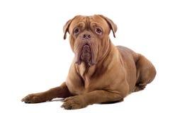 Crabot français de mastiff Images libres de droits