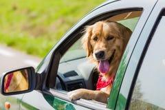 Crabot heureux de chien d'arrêt d'or Image stock