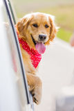 Crabot heureux de chien d'arrêt d'or Photographie stock