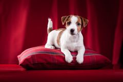 Crabot Jack Russel Photographie stock