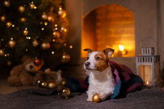 Crabot Jack Russel Saison 2017, nouvelle année de Noël Image libre de droits