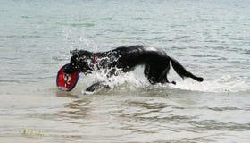 Crabot jouant dans l'eau avec un frisbee Photo libre de droits