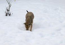 Crabot jouant dans la neige Photo stock