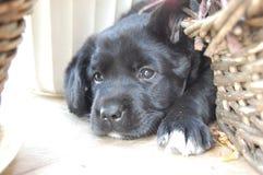 Crabot Labrador Images libres de droits
