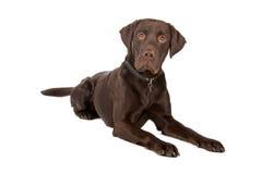 Crabot mélangé de race (chien d'arrêt de Labrador) Images libres de droits