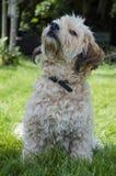 Crabot mignon de chien terrier Photographie stock