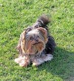 Crabot mignon de chien terrier de Yorkshire Photos libres de droits