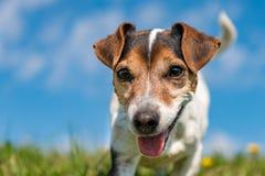 Crabot mignon de chien terrier de Jack Russell Portrait devant le ciel bleu photographie stock libre de droits