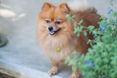 Crabot mignon de Pomeranian Photos stock