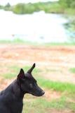 Crabot noir Photographie stock libre de droits