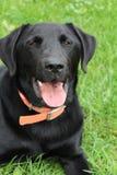 Crabot noir de chien d'arrêt de Labrador Images stock