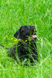 Crabot noir de chien d'arrêt de Labrador Photo libre de droits