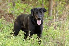 Crabot noir de chien d'arrêt de Labrador Photographie stock libre de droits