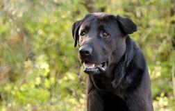 Crabot noir de chien d'arrêt de Labrador Photos libres de droits