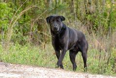 Crabot noir de chien d'arrêt de Labrador Photographie stock