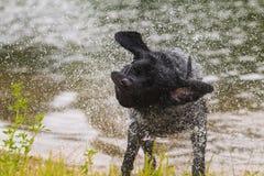 Crabot noir de chien d'arrêt de Labrador Images libres de droits