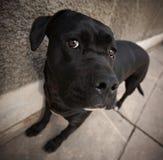 Crabot noir de chien d'arrêt de Labrador Image libre de droits