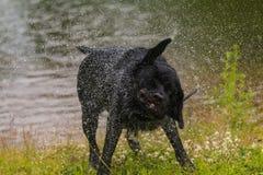 Crabot noir de chien d'arrêt de Labrador Photos stock