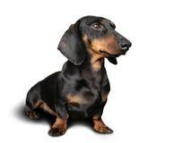 Crabot noir et brun (dachshund) en fonction Photographie stock