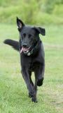 Crabot noir (Labrador) fonctionnant au-dessus d'un pré Photographie stock libre de droits
