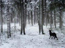 Crabot noir marchant en forêt de l'hiver Photos libres de droits