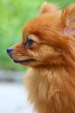 crabot pomeranian Photo stock