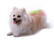 Crabot pomeranian blanc Photos stock