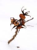 Crabot-s'est levé dans la neige Photos stock