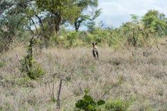 Crabot sauvage africain Photos stock