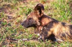 Crabot sauvage africain (pictus de Lycaon) Photographie stock libre de droits
