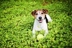 Crabot se situant dans l'herbe avec la bille Photographie stock