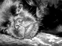 Crabot somnolent Photo stock