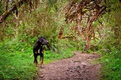 Crabot sur la promenade dans la forêt Photographie stock libre de droits