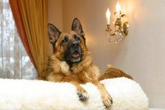 Crabot sur un sofa Photos libres de droits