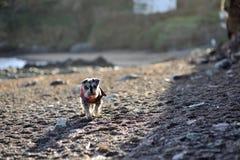 Crabot sur une plage Photos stock