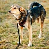 Crabot trois à jambes Portrait extérieur de chien avec seulement trois jambes Photos stock