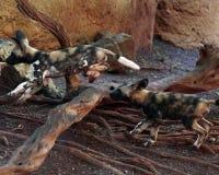 Crabots de chasse africains Photos stock