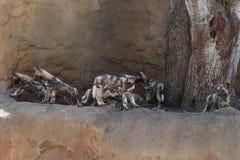 Crabots de chasse africains Image libre de droits