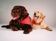 Crabots de chien d'arrêt Photographie stock