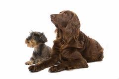 Crabots de chien terrier et d'épagneul Image libre de droits