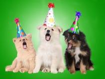 Crabots de chiot d'anniversaire de chant Images stock