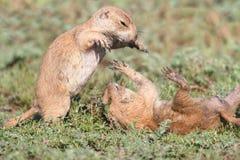 Crabots de prairie à queue noire (ludovicianus de Cynomys) Photographie stock