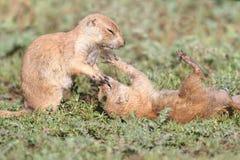 Crabots de prairie à queue noire (ludovicianus de Cynomys) Photographie stock libre de droits