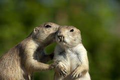 Crabots de prairie Photos libres de droits