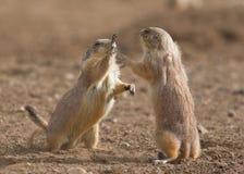 Crabots de prairie Image libre de droits