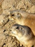 Crabots de prairie Photo libre de droits