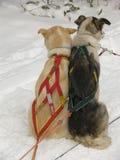 Crabots de traîneau dans la neige Photographie stock libre de droits